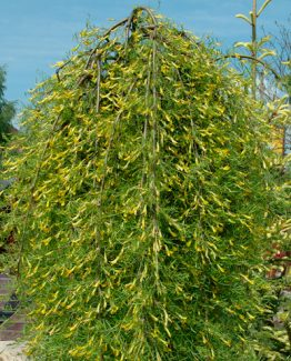 Caragana-arborescens-Walker_16000172