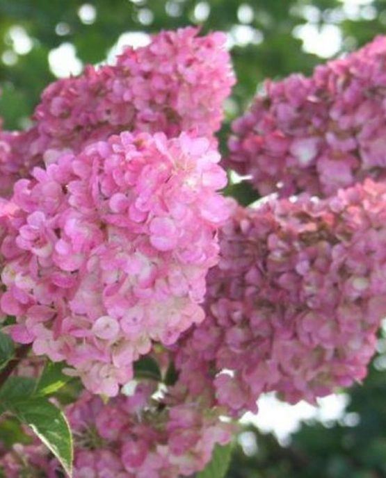 hydrangea_paniculata_sundae_fraise_rensun_plantipp_new_variety_plant_breeders_rights_eu20101358_3_1