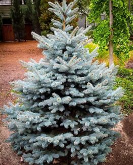 baby-blue-spruce-2