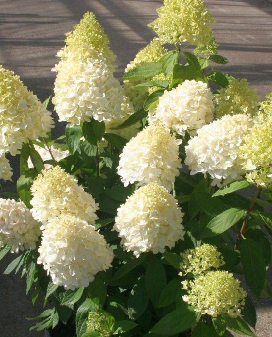 hortensia-paniculata-magical-sweet-summer