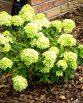 little-lime-hydrangea-2
