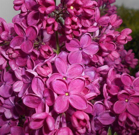 syringa_vulgaris_znamya_lenina_2016-05-17_0322-1