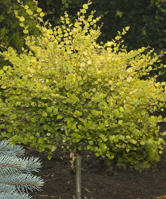 Betula-Golden-Treasure-op-stam