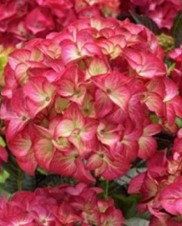 hortensia-hydrangea-black-diamonds-red-angel-hydrangea-black-diamonds-red-angel-6ea