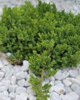 Juniperus_procumbens_'Nana'_(9)