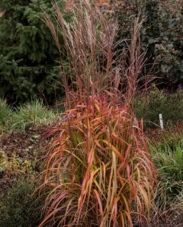 byliny-i-trawy_miscanthus-miskant_75052_3
