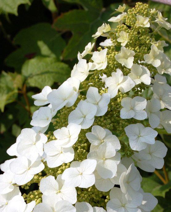 hydrangea-quercifolia-tennessee-clone-1138-p
