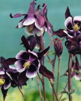 New-Pack-x6-Aquilegia-Vulgaris-39-William-Guiness-39-Perennial-Garden-Plug-Plants_700_600_6B3Z1_1024x1024