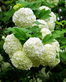 eastern-snowball-roseum-viburnum-opulus-jessica-tolemy