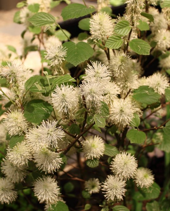 fothergilla-major-mt-airy_1