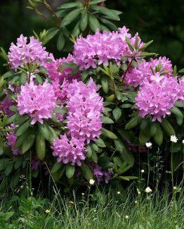 Rododendras